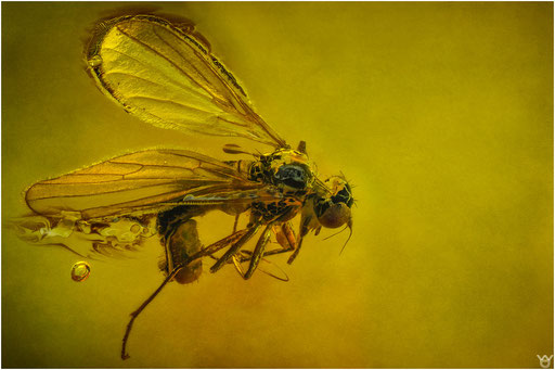 548. Brachycera, Fliege, Brachystomatidae, Baltic Amber