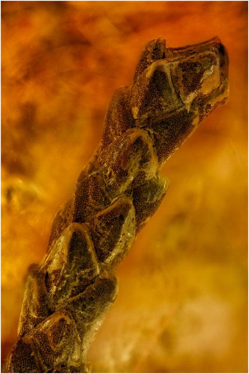 7061, Thuja, Lebensbaum, Baltic Amber