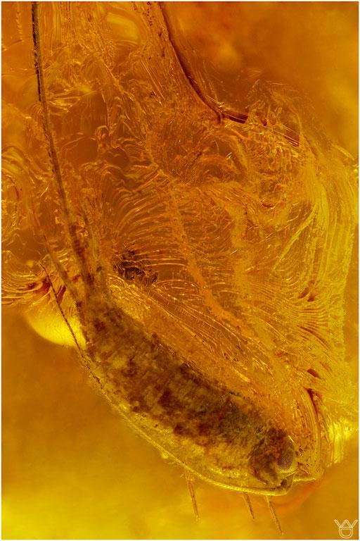 350. Archaeognatha, Felsenspringer, Baltic Amber