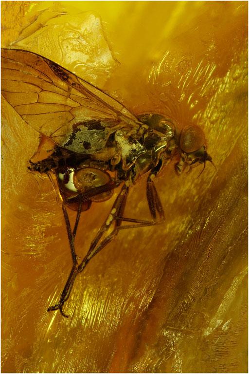 520. Brachycera, Fliege, Baltic Amber