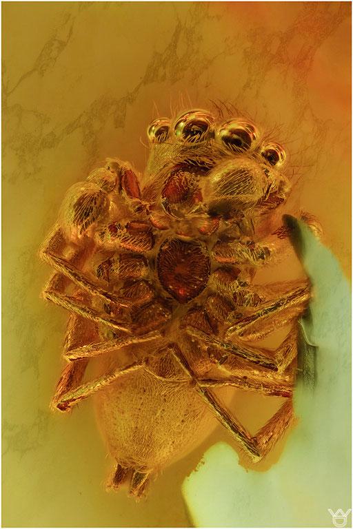551. Araneae, Spinne, Salticidae, Springspinne, Baltic Amber