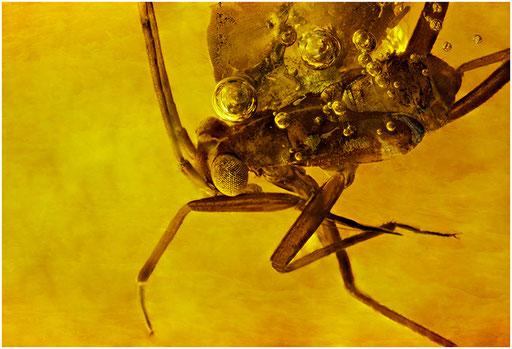 61. Heteroptera, Wanze, Baltic Amber