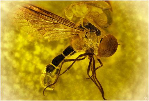 44a. Syrphidae, Schwebfliege, Brachycera, Fliege, Baltic Amber