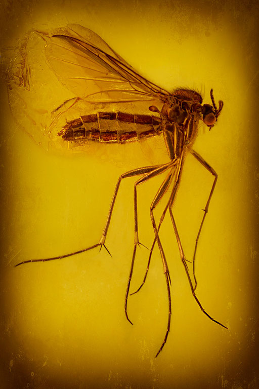 148b. Mycetophilidae, Pilzmücke, Baltic Amber