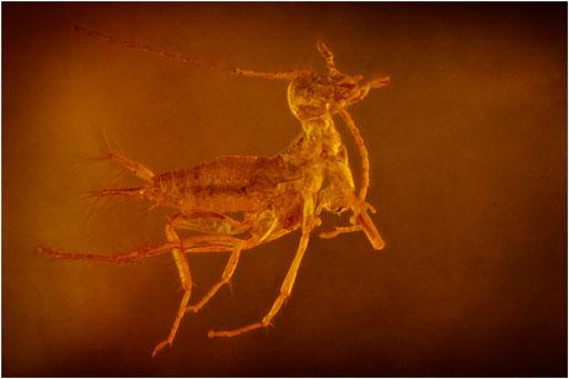155. Orthoptera, Heuschrecke, Baltic Amber
