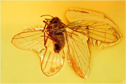 434. Neuroptera, Staubhafte, Baltic Amber