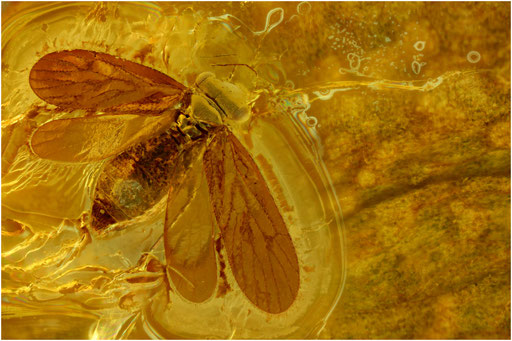 69. Psocoptera, Staublaus, Baltic Amber