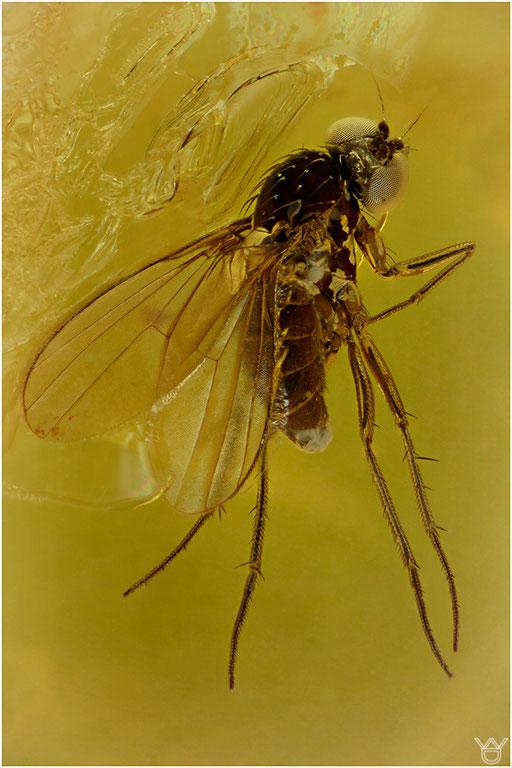 477. Brachycera, Fliege, Baltic Amber