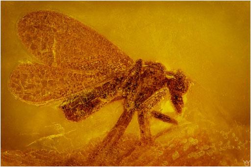 451. Brachycera, Fliege, Baltic Amber