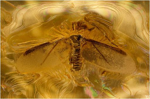 557. Coccidae, Schildlaus, Baltic Amber