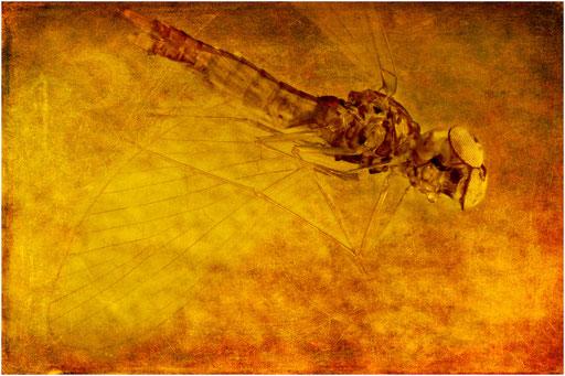 230. Baetidae, Eintagsfliege mit Turbanaugen, Dominican Amber