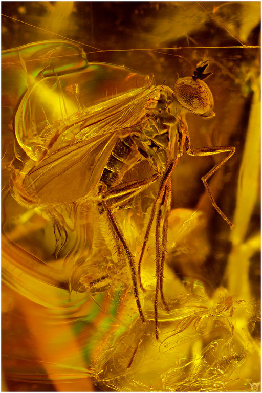 49. Dolichopodidae, Langbeinfliege, Baltic  Amber