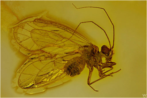257. Psocoptera, Staublaus, Baltic Amber