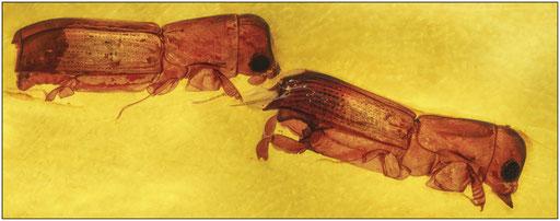 370. Borkenkäfer im Kopal