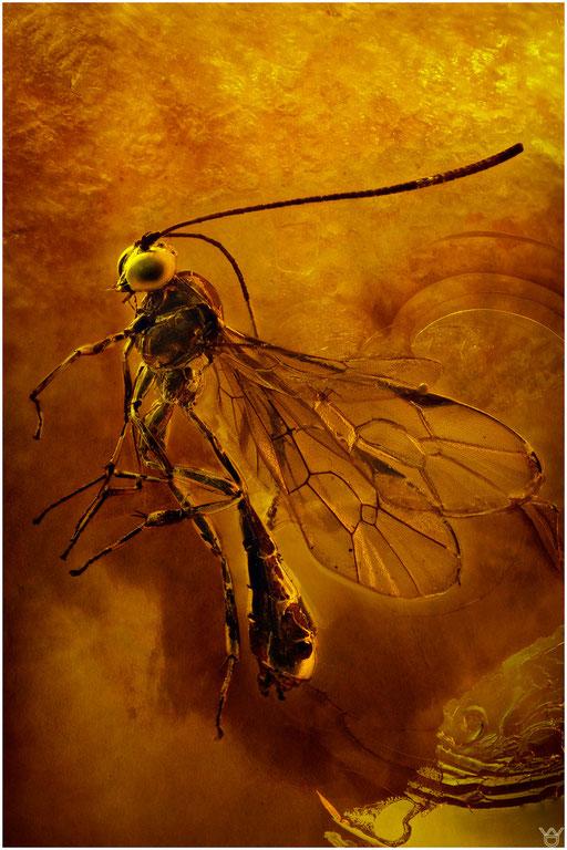 37. Ichneumonidae, Schlupfwespe, Baltic Amber