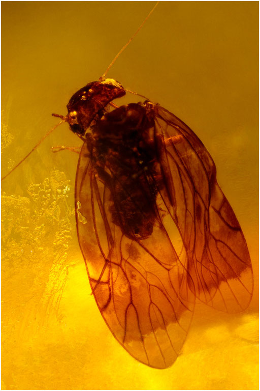 250. Psocoptera, Staublaus, Dominican Amber