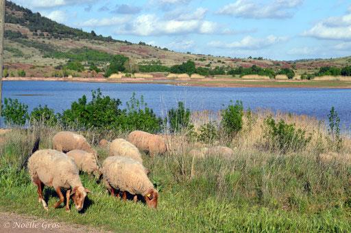 moutons de passage au lac