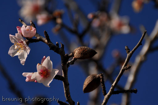 almond tree in bloom I