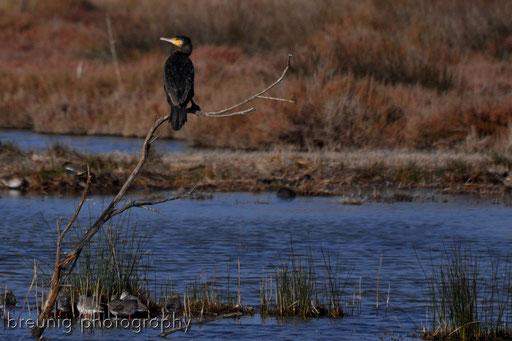 parc naturel de albufera XIV - cormorant