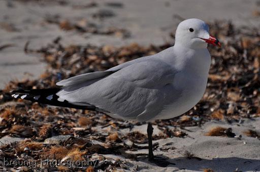 sea gull I