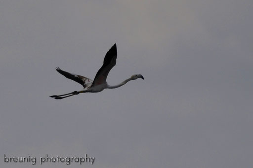 parc naturel de albufera XIII - passing flamingo
