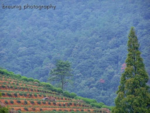 tea plantage, hangzhou I
