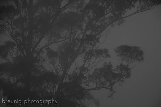 llevada serra choupana III - eukalyptus im nebel