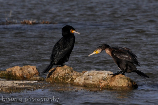 parc naturel de albufera XV - cormorant
