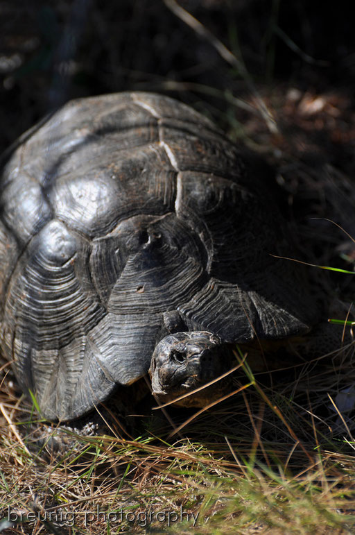 turtle - testudo hermanni in wilderness