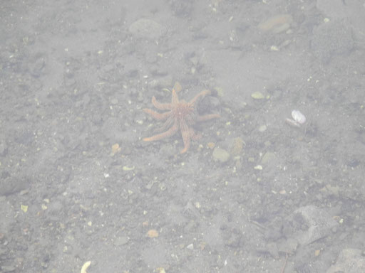 seestern! / starfish!
