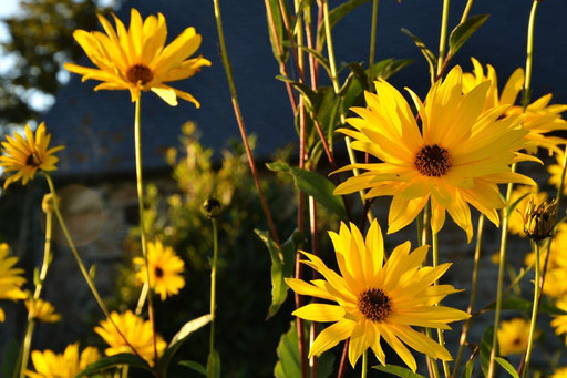 Blütenpracht im Spätsommer