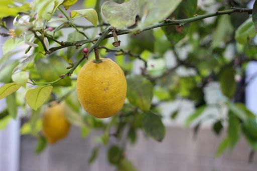 庭にあるレモンの木