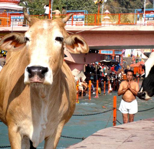 Indien. Kuh und Betender.