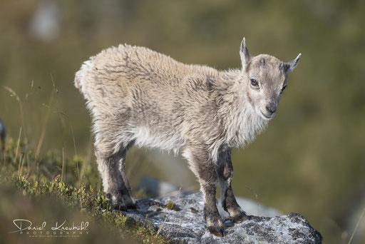 Tierwelt - Junger Steinbock (Schweiz)