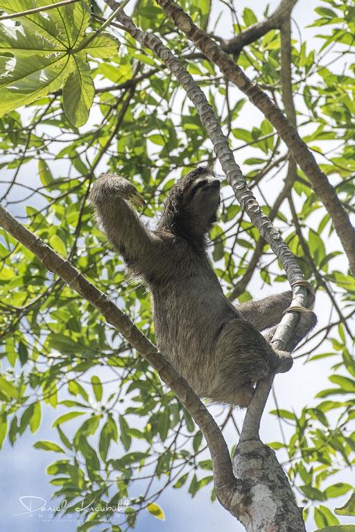 Tierwelt - Faultier (Panama)