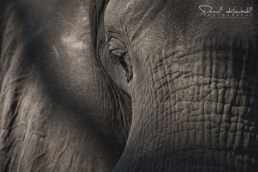 Tierwelt - Elefant close up (Botswana)
