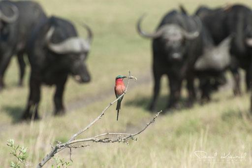 Tierwelt - Karminspint (Botswana)