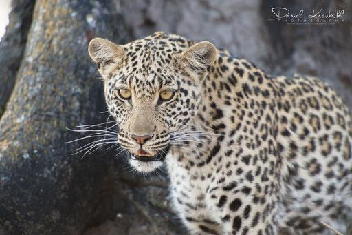 Tierwelt - Leopard (Botswana)