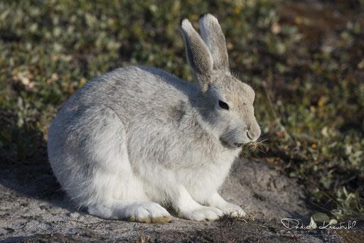 Tierwelt - Schneehase (Grönland)
