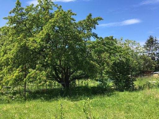 Sommerwiese mit Kirschbaum (Dagmar Schülke)