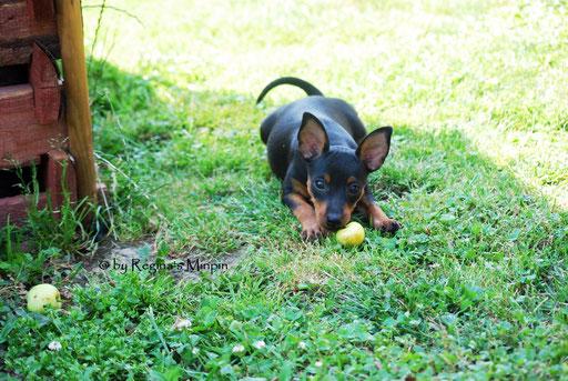 Nun hat sie einen Apfel als Beute erobert und ruht sich im Schatten aus.