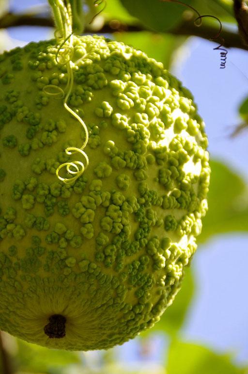 Coloquinte, jardin extraordinaire Lieurac