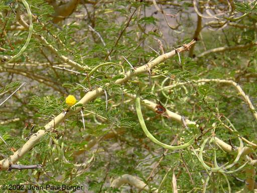 Randa - Acacia seyal