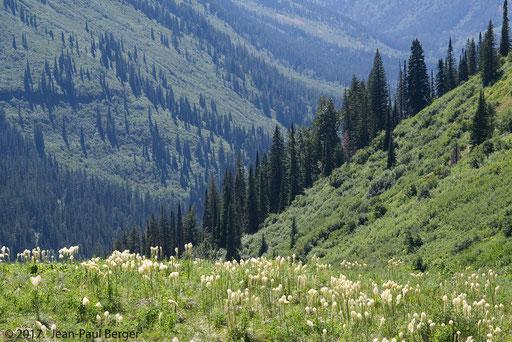 Pelouse à Xerophyllum tenax - Glacier Park en altitude le long de la limite boisée.