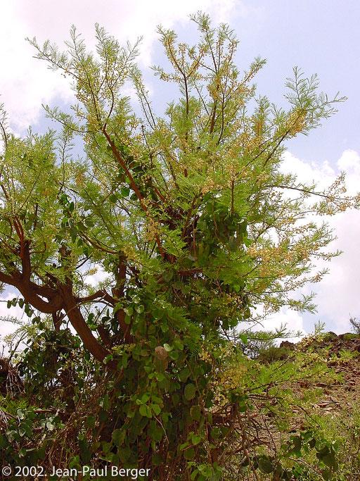 Versant Sud-Ouest du Day - Acacia etbaica colonisé par Cissus rotundifolia, une liane succulente grimpante.