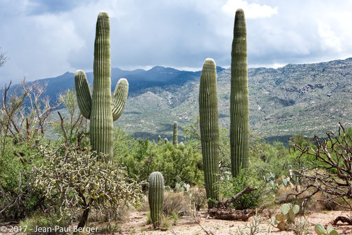 Carnegiea gigantea fleuri - Saguaro National Park & Rincon Moutains -