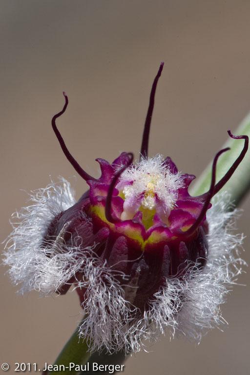 Wadi Awf - Fleur de Periploca aphylla