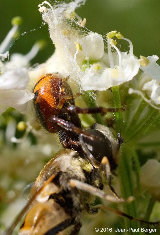 Près de Vieure - Synaema_globossum capturant un syrphe (Eristalis_horticola) sur une Berce