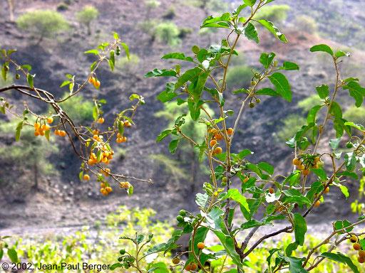 Randa - Grewia bicolor portant des fruits (rives du wadi Saggalou)