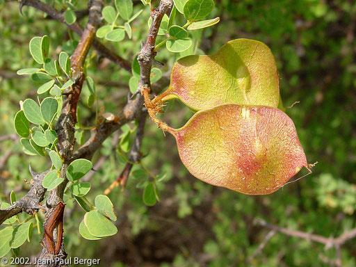 Garanlé - Acacia mellifera